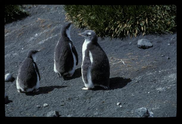 Gentoo Penguin 3 chicks [orig]