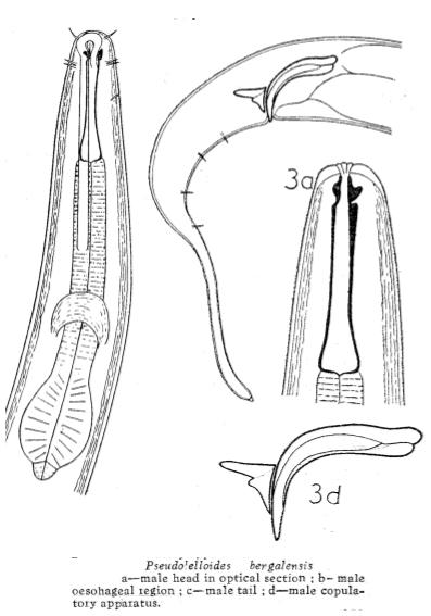 Pseudolella bengalensis