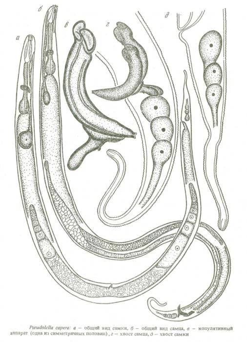 Pseudolella capera