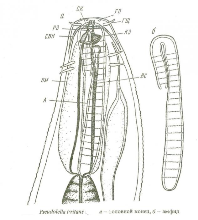 Pseudolella irritans
