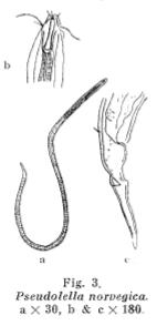 Pseudolella norvegica