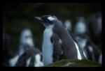 Gentoo Penguin chick [orig]