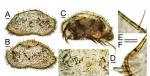 Bairdoppilata scaura, holotype male specimen 3860M