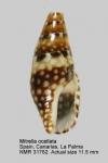Mitrella ocellata