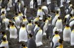 King Penguin colony a_1