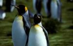 King Penguin pair (rev)CS6_1