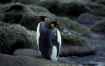 King Penguin pair 2_1
