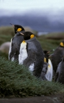 King Penguin pair_1