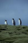 King Penguin trio_1