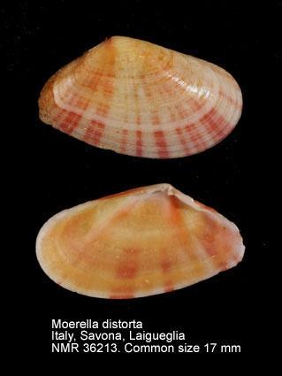 Moerella distorta
