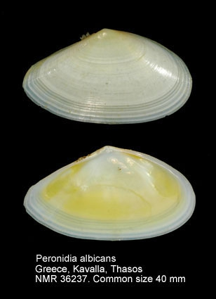 Peronidia albicans