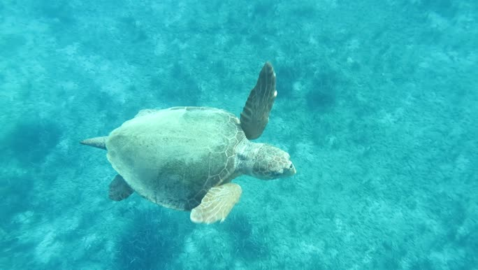Caretta caretta (male)