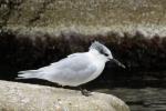 Sandwich tern.