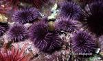Strongylocentrotus purpuratus
