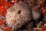 Leucosolenia eleanor