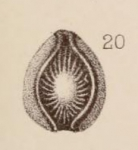 Lagena orbignyana var. curvicostata Sidebottom, 1912