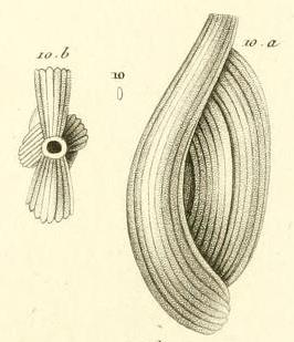 Quinqueloculina striata d'Orbigny in Guérin-Méneville, 1844