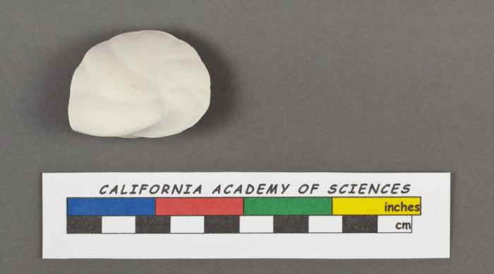 Cassidulina laevigata d'Orbigny, 1826