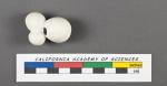 Globigerina bulloides d'Orbigny, 1826
