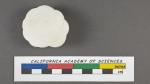 Planorbulina nitida d'Orbigny, 1826