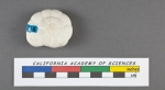 Rotalia corallinarum d'Orbigny, 1826