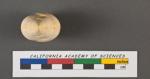 Textularia gibbosa d'Orbigny, 1826