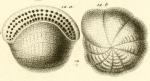 Alveolina bulloides d'Orbigny in Guérin-Méneville, 1844