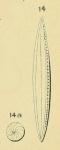 Alveolina elongata d'Orbigny in Deshayes, 1828