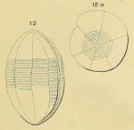 Alveolina ovoidea d'Orbigny, 1826