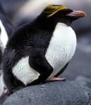 Macaroni Penguin hunched_1