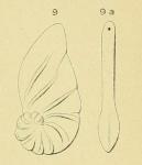 Cristellaria cadomensis d'Orbigny, 1850