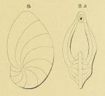 Cristellaria gibba d'Orbigny, 1839