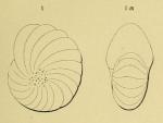 Nonionina lamarcki d'Orbigny, 1852