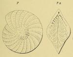 Polystomella angularis d'Orbigny, 1852