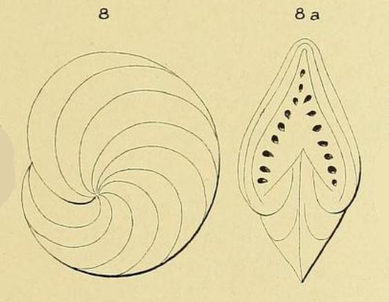 Polystomella gaimardi d'Orbigny in Fornasini, 1904