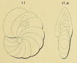 Polystomella umbilicata d'Orbigny in Fornasini, 1904