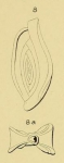 Spiroloculina angulosa d'Orbigny in Fornasini, 1904