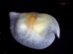 Bathyconchoecia