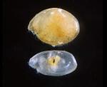 Euphilomedes