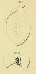 Spiroloculina pulchella d'Orbigny in Fornasini, 1904