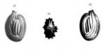 Quinqueloculina schreibersii d'Orbigny, 1846