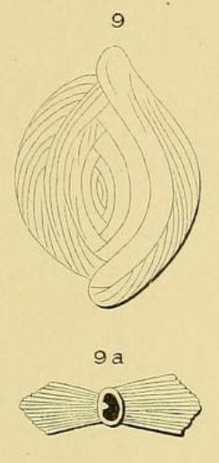 Spiroloculina striata d'Orbigny, 1871