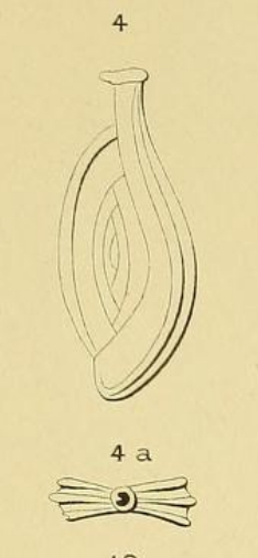 Spiroloculina tricarinata d'Orbigny, 1852