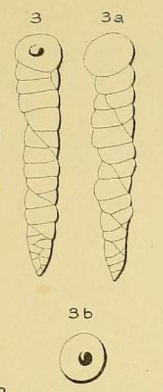 Valvulina columnatortilis (d'Orbigny in Guérin-Méneville, 1832)