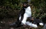 Rockhopper Penguin pair 2_1