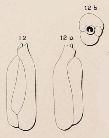 Triloculina deformis d'Orbigny in Guérin-Méneville, 1832