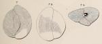 Triloculina strigillata d'Orbigny, 1850