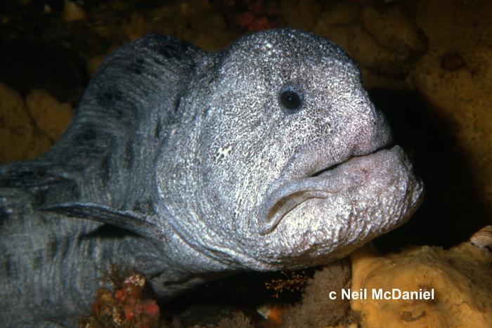 Anarrhichthys ocellatus