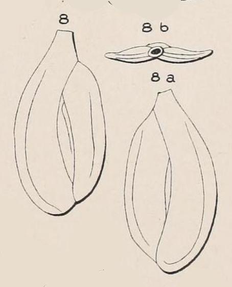 Quinqueloculina depressa d'Orbigny, 1852