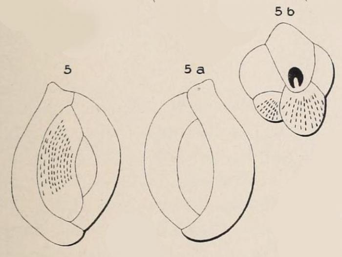 Quinqueloculina prisca d'Orbigny, 1850